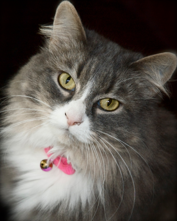 Our Domestic Long Hair (fuzzy cat) Tiki