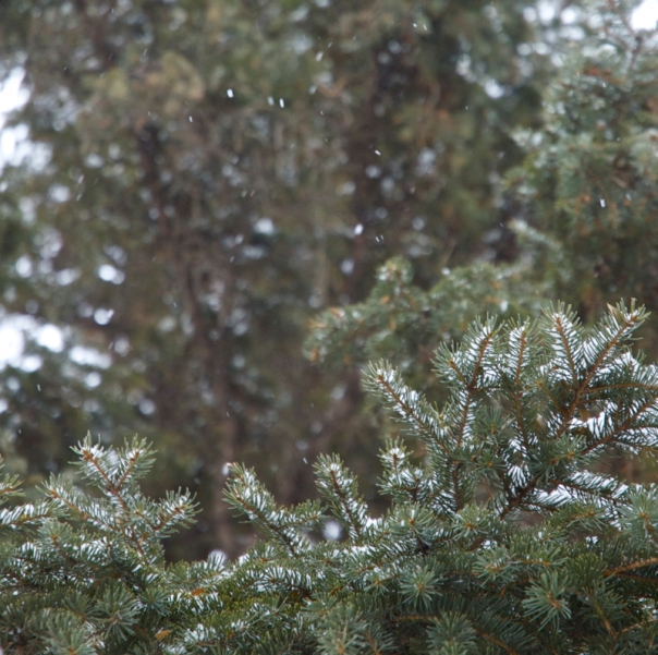evergreen tree in the snow