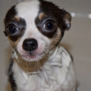 Chihuahua in the Bath