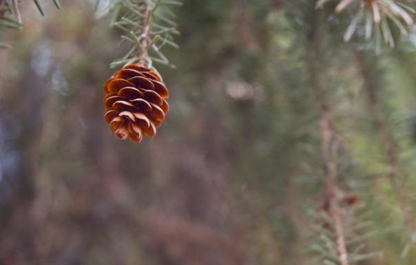 A pine cone.