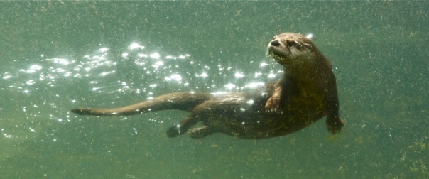 River Otter, Swimming