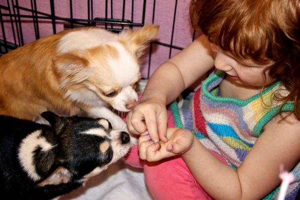 the girlie sharing a treat with two of the Chihuahuas