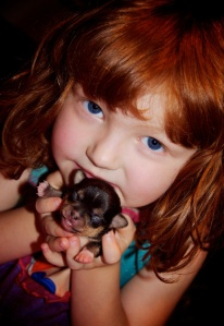 The wee girlie holding Deedee the tri-colour Chihuahua puppy.