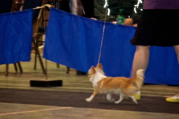Marnie, tail up, strutting her stuff in the dog show ring.