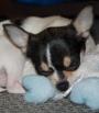Sleeping Chihuahua (pic)